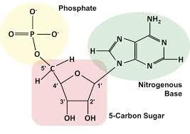 How are the nitrogenous bases attached to the sugar-phosphate backbone of  DNA and RNA?   Socratic