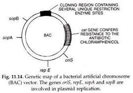 Genetic Map of Bacterial Artificial Chromosome (BAC) Vector | Dna  technology, Recombinant dna, Short essay